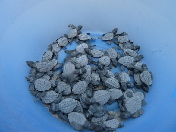 Baby turtles ready to be released into the ocean.